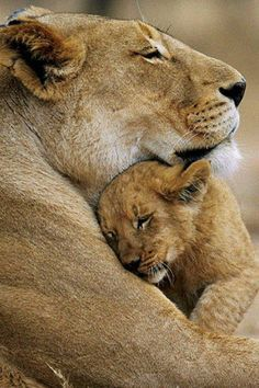 Lion mother and her sweet cub.