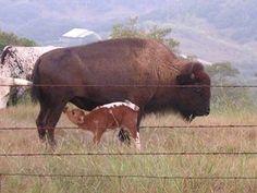 Cattalo cow with calf.