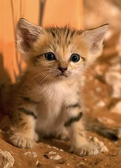 The sand cat, also known as the sand dune cat, is the only cat living mostly in true deserts. (He is NOT a domestic cat) This small cat is widely distributed in the deserts of North Africa and Southwest and Central Asia.