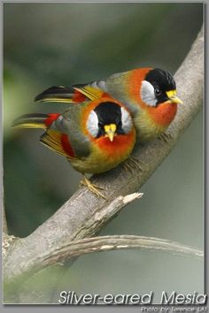 A pair of Silver-Eared Mesia perching on a branch in Hong Kong.  By Tetence Lai.