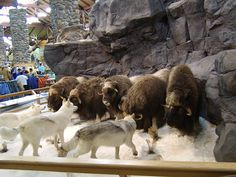 At the Cabelas in Kansas City they have amazing dioramas of taxidermied animals...this one was my favorite when I visited years ago.