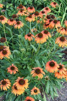 Tangerine Dream Coneflower for sale buy Echinacea 'Tangerine Dream' PP 21,773