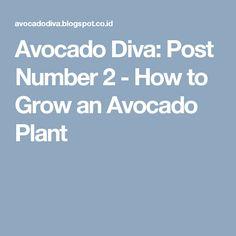 Avocado Diva: Post Number 2 - How to Grow an Avocado Plant