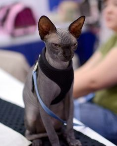 The Top 10 Most Expensive Cat Breeds ~ Interesting Facts You Should ... #catbreed - See more at Catsincare.com!