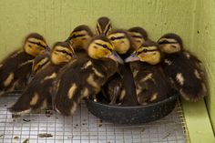 Fluffy mallard ducklings stick together! You can help provide safe enclosures for wild babies symbolically adopting a baby today.   www.torontowildlifecentre.com/adopt-a-baby/