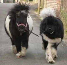 A Newfoundland dog walking a little Shetland pony soooo cute