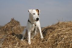Bobby my Parson russell terrier