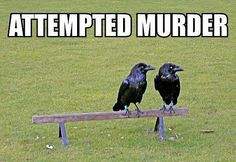 """@Christina Phillips...did you know that a group of crows is called a """"murder"""" :P"""