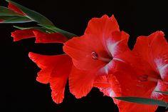 Gladiolo rojo.  La leyenda del gladiolo. #curiosidadesflorales #leyendas