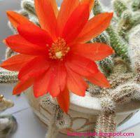 Комнатные растения для души и настроения: Хамецереус Сильвестра (Chamaecereus silvestrii): у...