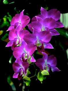Gorgeous Orchids purple dendrobiums/ / orlandoweddingflowers/ www.callaraesfloralevents.com