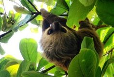 Sloth in our backyard!