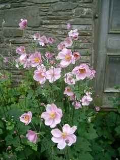 Anemone x hybrida. Common name: Japanese anemone; For behind c. myrtle near fence; flowers from spring to fall