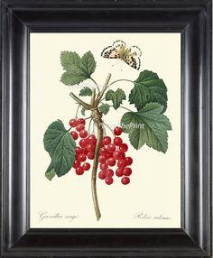 BOTANICAL PRINT Redoute Flower  Art 335 Beautiful by LoveThePrint
