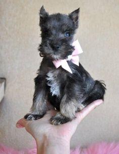 Teeny tiny schnauzer puppy <3