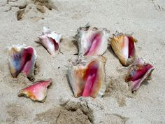 Conch Shells - Turks and Caicos. oh yes. i remember going to the beach-that was waist deep for 1/2 mile and just picking buckets of them up off the ocean floor to eat when we got home. and I got to be the one to grind up the meat. can almost smell the stink. childhood memory right therrre.