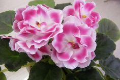 ❀ RM Podruzhka ❀ African Violet ❀ Plant ❀ | eBay