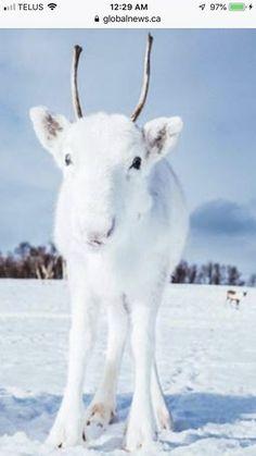 Fotógrafo captura renas brancas extremamente raras enquanto caminhava na Noruega Rare Animals, Animals And Pets, Funny Animals, Wildlife Photography, Animal Photography, Snow Photography, Beautiful Creatures, Animals Beautiful, Tier Wallpaper