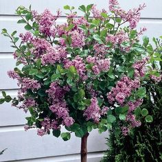 A stunning addition to add to your patio, this fantastic new dwarf Lilac is just the thing for small gardens or for sprucing up patios and decking Dwarf Lilac Tree, Dwarf Trees, Trees And Shrubs, Potted Trees Patio, Dwarf Shrubs, Lilac Flowers, Beautiful Flowers, Lilac Varieties, Shrubs For Sale