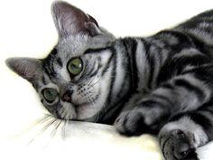 American shorthair kitten playing