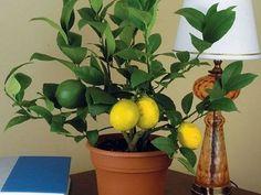 A mai cikkünkben bemutatjuk a legegyszerűbb eljárást egy citromfa ültetéséhez, semmi sem lehet, ennél könnyebb. Mindenki tudatában van a citrom jótékony hatásának. Tudnotok kell, hogy a citromfa a szabadtérben virágzik, majdnem egész évben, az olyan vidékeken ahol meleg van és napsütés az év nagy részében. Ezt az elméletet mi most[...]