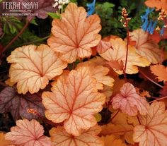 Heuchera 'Vienna' - Heuchera 'Vienna' is a bastion of artful traits; Garden Shrubs, Shade Garden, Garden Plants, Coral Bells Heuchera, Garden Nursery, Woodland Garden, Foliage Plants, Shade Plants, Outdoor Plants