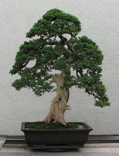 Japanese Red Cedar bonsai seeds [ 30pcs / pack ]