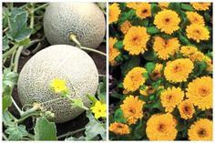 légumes compagnons melon et soucis
