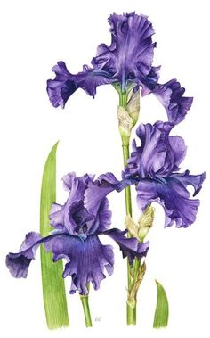 Iris Flowers, Botanical Flowers, Botanical Prints, Watercolor Background, Watercolor Flowers, Watercolor Paintings, Art Floral, Floral Prints, Illustration Blume