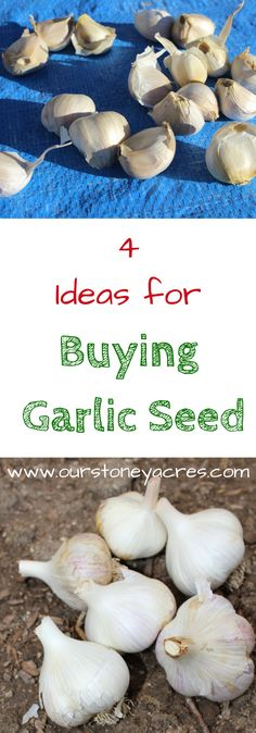 Where can you buy Garlic Seed?  Fall is the time to plant garlic in your backyard garden. You can buy garlic seed from several different sources both online or locally.