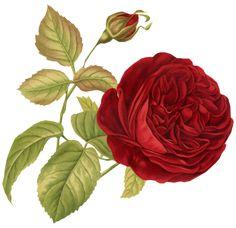 Vintage Rose Scrap