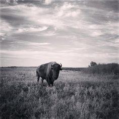 Tall Grass Prairie Preserve, Oklahoma Photography, Black and White Bison, Oklahoma Art Print, Prairie Buffalo
