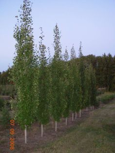 Aspen - Swedish (columnar) ( Populus Tremula) ht. 12m - sp. 2 mZone 2 This tree is perfect for limited space, with dense dark foliage. Excellent for screen, windbreak or line a driveway. The smaller shallow roots are non-invasive. Wonderfull red/orange and yellow fall colour.