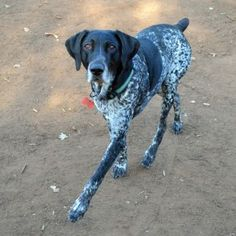 Buck is ready for his forever home! Gsp Rescue, White Man, Black And White, Left Alone, German Shorthaired Pointer, Beautiful Boys, Dogs And Puppies, Cute, Animals