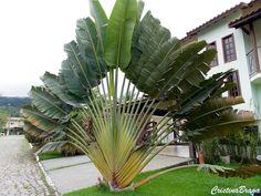 Herbácea, pertence à família Strelitziaceae, nativa de Madagáscar, perene, de crescimento rápido, podendo atingir em clima tropical, até 30 metros de altur