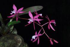 Inflorescence of Cochlioda beyrodtiana