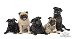 A grumble of Pugs #pug #dog #puppy