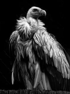 Himalayan Griffon Vulture by Rich Kolasa
