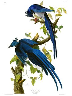 An amzing Image.  John James Audubons COLUMBIA JAY - Corvus Bullockii (Black-throated Magpie-Jay - Calocitta colliei) Plate 96 from Birds of America. Nothing can prepare you for seeing this image, on the wall, full-size.- absolutely stunning.