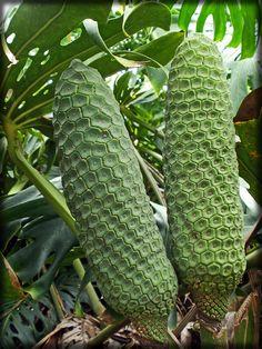 Monstera-fruit-080710-1 by Pterosaur Whisperer, via Flickr