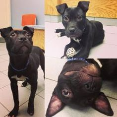 Luca is an adoptable Pit Bull Terrier Dog in #Buffalo, #NEWYORK. Luca is an adorable 5 month old puppy who came to us a stray. He is a typical puppy; a little shy at first, but filled with love and exciteme...