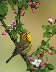 Prairie Warbler ~~~ Matthew Studebaker @ www.studebakerbirds.com