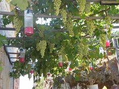 Grapevines - Be sure to visit GardenAnswers.com and download the free plant idenfication mobile app.
