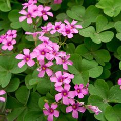 Oxalis Bulbs, Flowering Shamrocks – Bloom Indoors or Out – Easy To Grow Bulbs