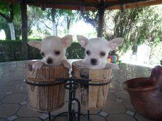 Venta de perros chihuahua (chiguagua) - Criadero Cantillana