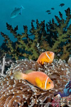 Amphiprion nigrigis (Black-Finned Anemonefish) - Maldives |