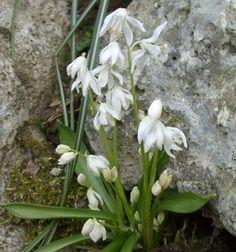 Scilla sibirca 'Alba' (4 inches tall; April blooms)
