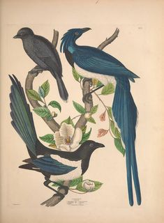 Wilson and Charles Lucian Bonaparte : with the addition of numerous recently discovered species and representations of the whole sylvae of North America. 1835 | BHL  --  Jays and a Magpie