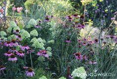 Jeżówka - Echinacea - strona 30 - Forum ogrodnicze - Ogrodowisko
