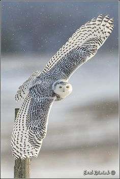 Snowy Owl with a beautiful wing- span.                                                                                                                                                     More